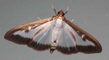 Papillon de la pyrale du buis - Cydalima perspectalis